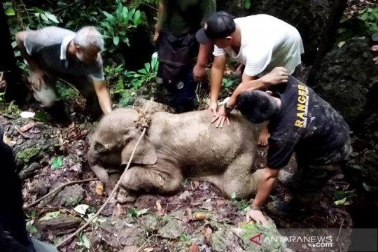 BKSDA Aceh evakuasi bayi gajah terjebak di kubangan lumpur