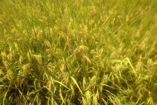 Petani Lebak, Banten mulai panen padi di tengah pandemi COVID-19