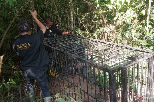 BKSDA Sumbar pasang dua perangkap, evakuasi beruang madu di Kelok 44