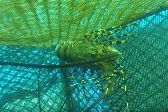 KKP lepasliarkan 147.383 benih lobster di perairan Padang