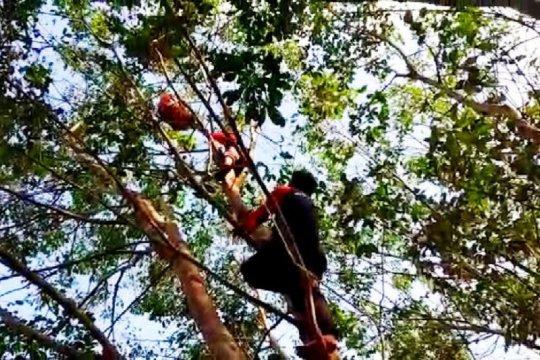 Tim BKSDA evakuasi orangutan dari kebun karet di Kotawaringin Timur