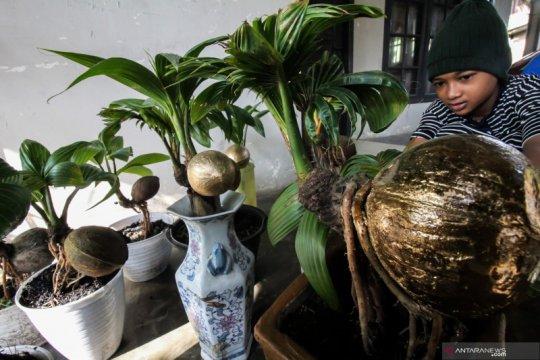 Bonsai tanaman kelapa
