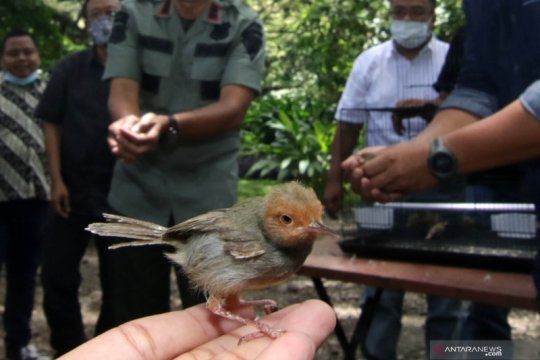 Pelepasliaran burung pemakan serangga
