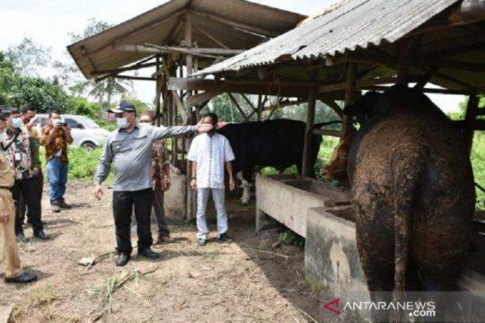 Gapoktan Bangka Tengah panen 152 sapi hasil penggemukkan KUR