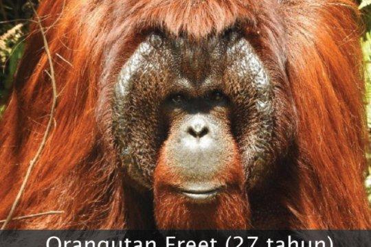 BKSDA Kaltim dan BOS lepasliarkan tiga orangutan di Hutan Kehje Sewen