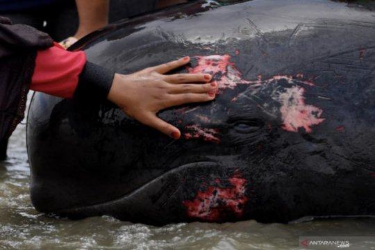 Pemprov kirim ekskavator evakuasi paus mati terdampar di Madura