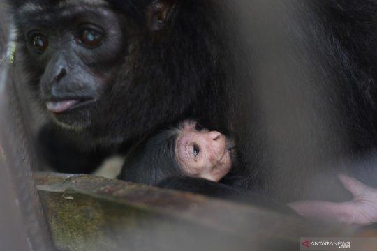 Owa Ungko melahirkan di kandang transit BBKSDA Riau