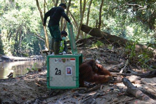 BOS-BKSDA Kalteng lepasliarkan tujuh orangutan