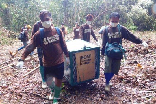 BOSF lakukan pelepasliaran 10 orangutan ke hutan di masa pandemi