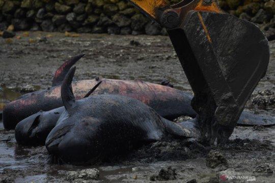 52 paus terdampar di Jawa Timur karena penyakit