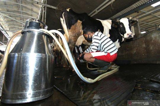 Kementan gandeng swasta-universitas dongkrak produksi susu sapi