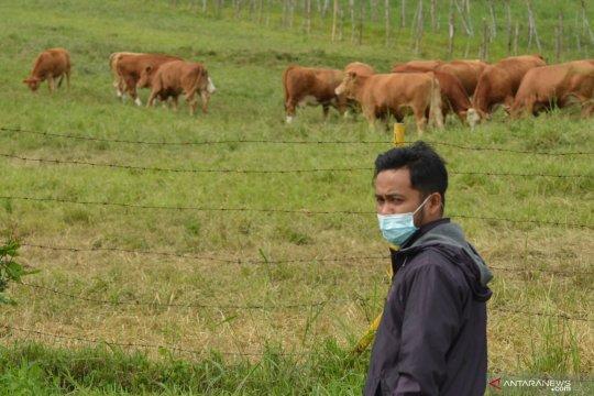 Tempat pembibitan sapi ternak di Padang Mengatas