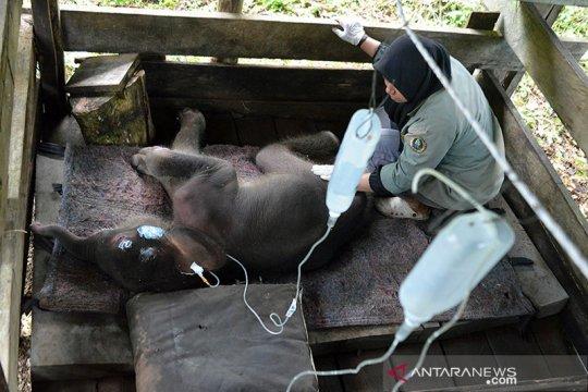 BKSDA Aceh: Kondisi bayi gajah terjebak kubangan lumpur mulai membaik