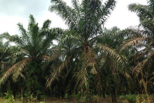 Harga tandan buah sawit di Mesuji Rp1.930 per kg