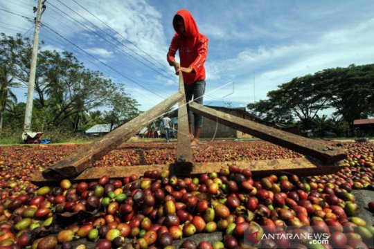 Manggarai  Timur ekspor 36 ton kopi robusta ke Belanda