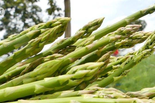 Asparagus Temanggung dilirik pasar Singapura