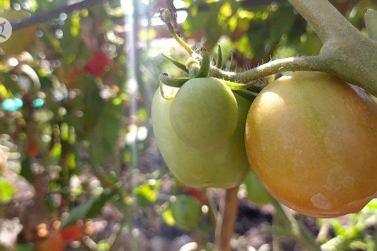 Urban Farming,  jawaban keterbatasan pasokan buah dan sayur