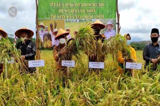 Panen raya padi sawah,Pemkab Bangka menujuswasembada pangan
