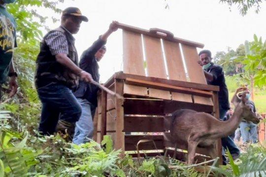 BKSDA Maluku lepasliarkan ratusan satwa liar