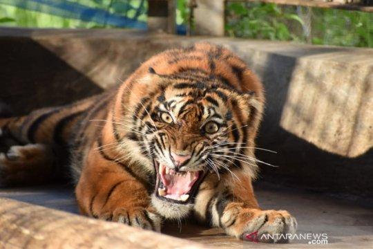 Harimau Ciuniang Nurantih dilepas ke Taman Nasional Kerinci Seblat