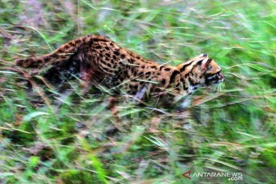 Pelepasliaran Kucing Hutan