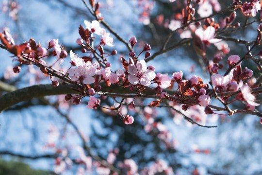 Tempat nikmati keindahan bunga sakura, dari Jepang hingga Indonesia