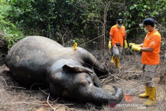 Seekor gajah liar ditemukan mati di Aceh Jaya