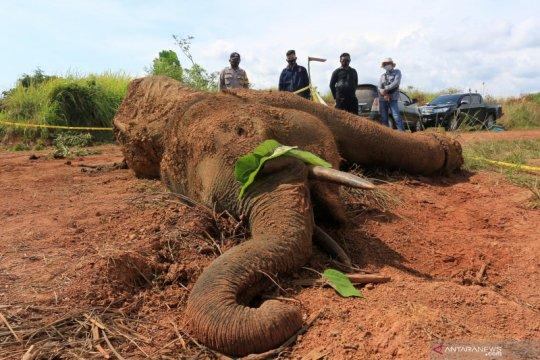Proses nekropsi gajah mati di Aceh Jaya