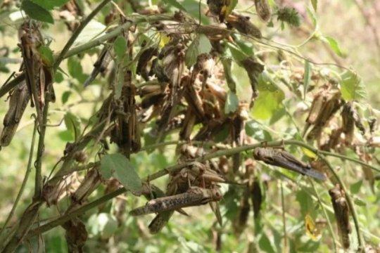 Diserang belalang, petani Sumba Tengah terancam gagal panen jagung