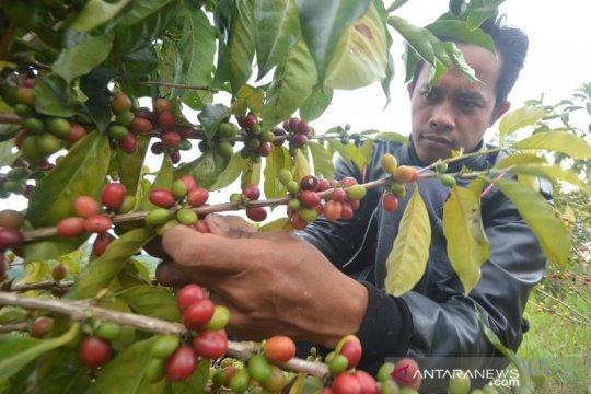 Panen kopi khas Solok