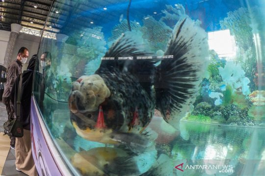 KKP: Bisnis ikan hias bisa jadi solusi beban bonus demografi Indonesia