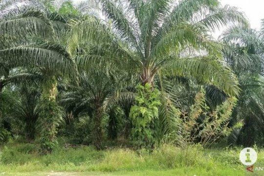 Lampung dapat alokasi peremajaan kelapa sawit 3.000  hektare