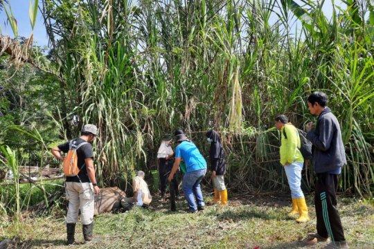 BKSDA tak temukan tanda baru harimau mangsa kerbau di Agam