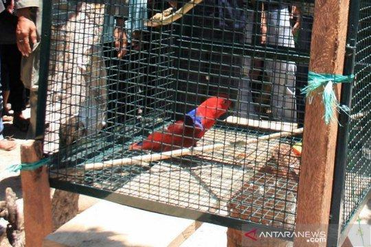 Kepala Polda Kalbar tidak hadir praperadilan Jumardi kasus jual burung