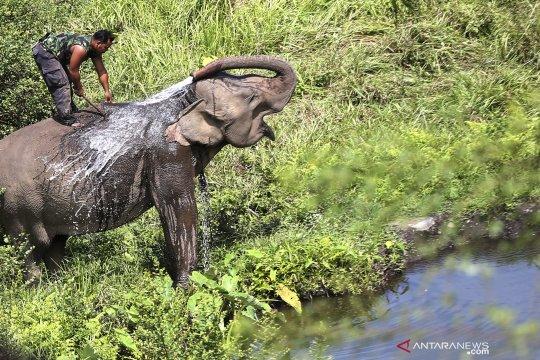 Penanganan konflik gajah dengan warga di Bener Meriah