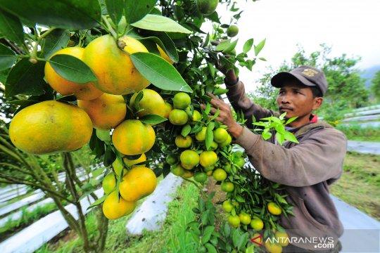 Agrowisata petik jeruk di Tanah Datar terkendala akses jalan