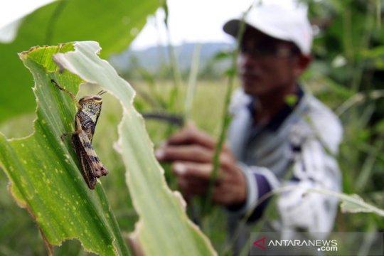 Belasan petugas dikerahkan atasi serangan hama belalang Sumba Tengah
