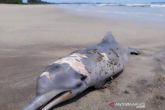 Seekor lumba-lumba mati terdampar di pantai Tapanuli Selatan Sumut