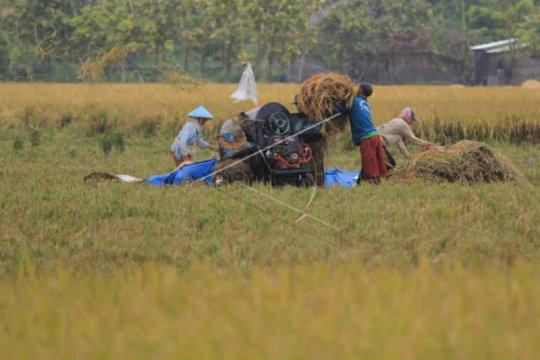 Kabupaten Cirebon surplus beras setiap tahun