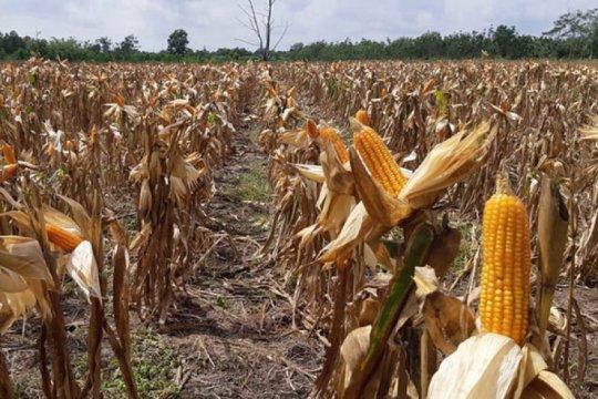 """Pertani: """"Corporate farming"""" jagung menjaga kesejahteraan petani"""