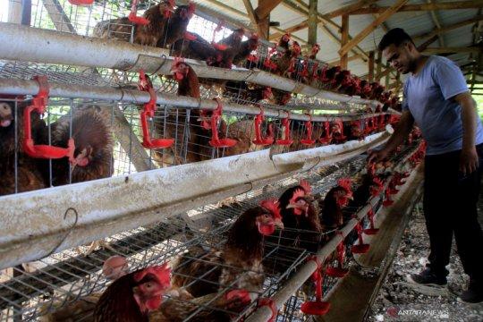 Akademisi prediksi pasokan ayam masih berlebih tahun ini
