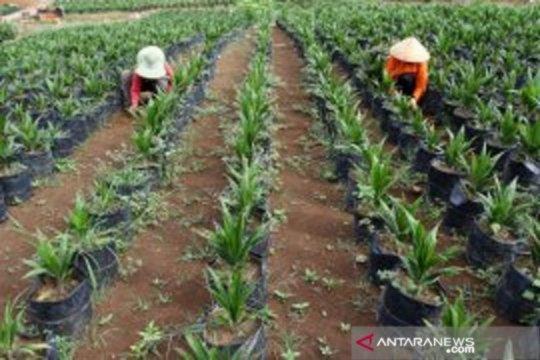 Kementerian Pertanian: Peremajaan sawit rakyat mulai meningkat