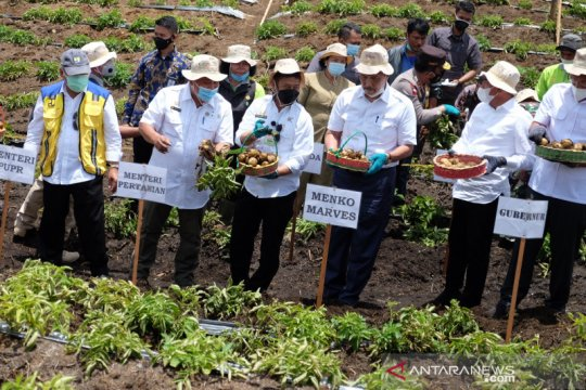 """Luhut panen perdana kentang di """"food estate"""" Humbang Hasundutan"""