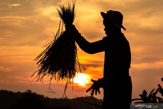Kementan perkirakan produksi beras surplus 3,66 juta ton hingga Mei