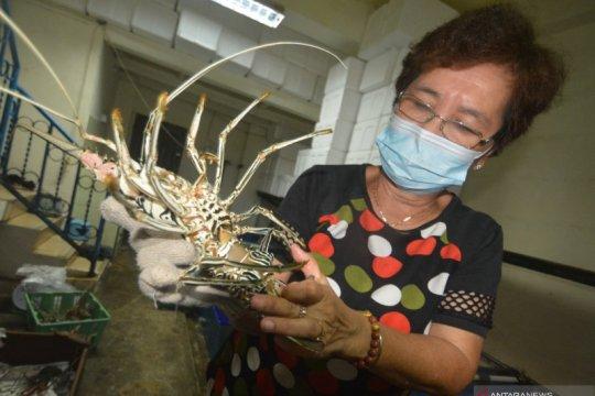 Lobster kualitas ekspor dari Mentawai
