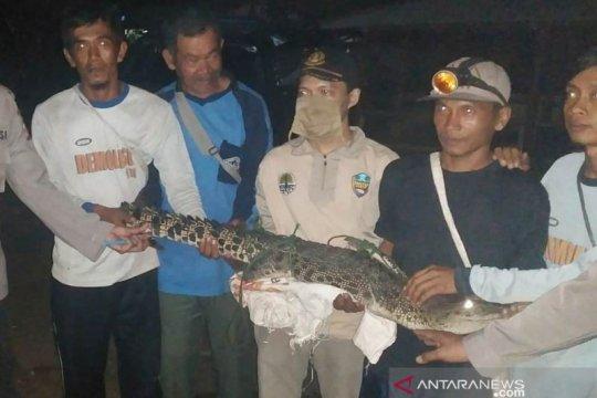 Ditangkap nelayan, buaya muara diamankan BKSDA Gunung Simpang-Cianjur