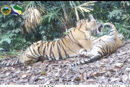 Tiga harimau sumatera terlihat di Taman Nasional Bukit Tiga Puluh