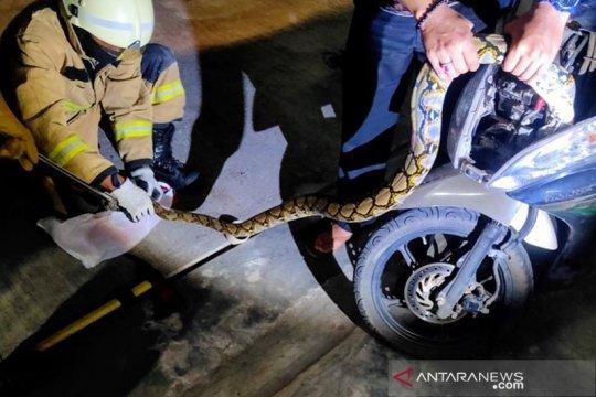 Gulkarmat Jakarta Selatan evakuasi ular sanca dari motor warga