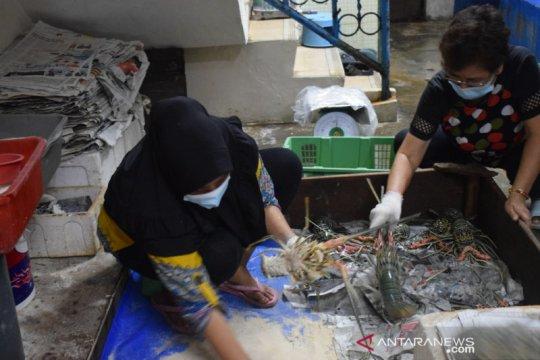 SKIPM sebut pengiriman lobster hidup dari Sumbar turun