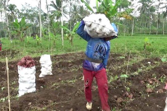 Dinas Pertanian Lumajang dorong petani ubi jalar olah hasil panen